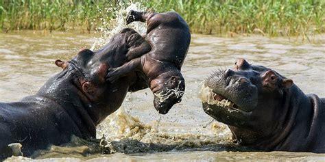 Sho Kuda Di Century anak kuda nil ini terjebak di antara pertarungan kuda nil