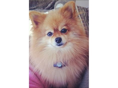 great pomeranian missing dolce the pomeranian from great falls mclean va patch