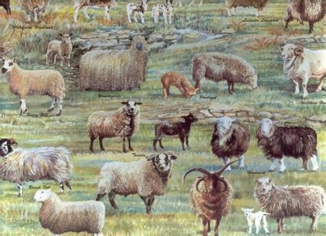 oldest breed popular images heritage sheep breeds are