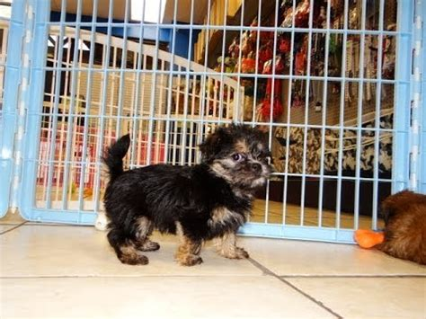 yorkies sale chattanooga tn yorkie tzu puppies dogs for sale in tennessee tn 19breeders
