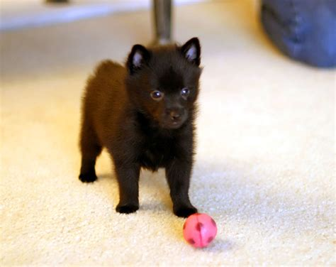 schipperke puppies skiperke schipperke puppy by photoboater on deviantart for the of animals
