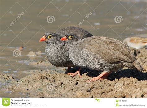 wwwwild bird photocom3gp billed francolin birds from africa feathered friends royalty free stock photo