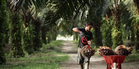 Jual Bibit Sawit Di Pontianak budidaya pohon karsen pagerankpromoter