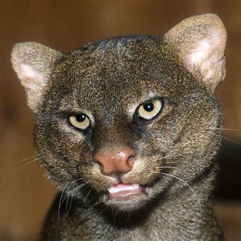 imagenes jaguarundi mejores 48 im 225 genes de jaguarundi en pinterest grandes