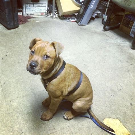rottweiler mix with a pitbull rottweiler pitbull mix pictures www imgkid the image kid has it