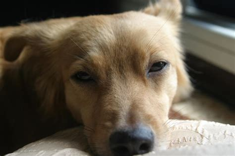 peritonitis in dogs peritonitis symptoms in dogs with pictures ehow