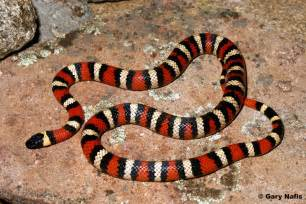 Snakes In Banded California Snakes