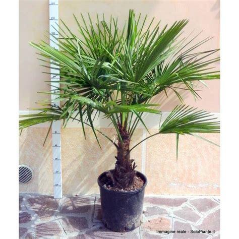 palme in vaso palma chamaerops excelsa vendita piante on line