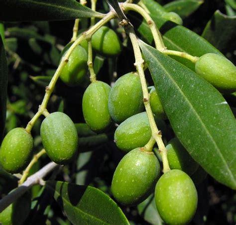 Minyak Zaitun Per Kilo tanaman buah zaitun