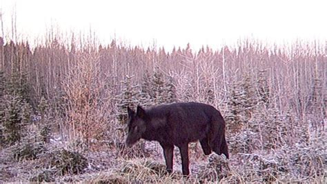 wolf trail cameras pictures to pin on pinsdaddy