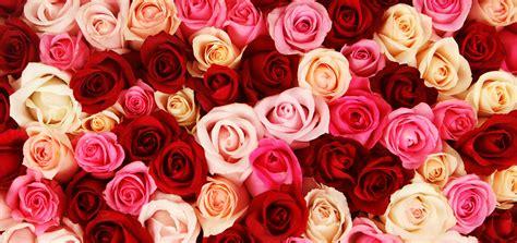 imagenes rosas varias umbanda veja o significado das cores das rosas nos