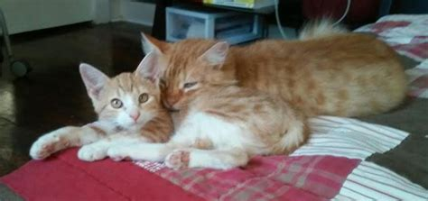 adoption new orleans bingo and dukes matched set of amazing orange tabbies for adoption in new