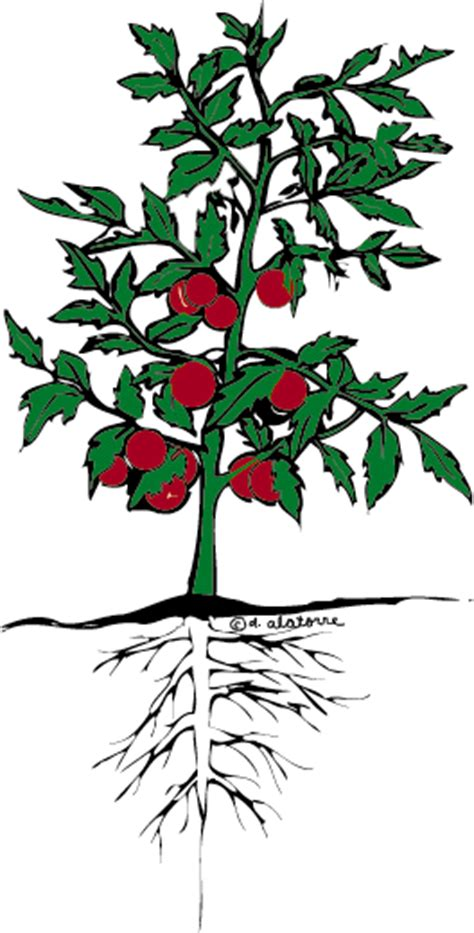 tomato flower diagram the tomato plant you would clipart panda free clipart