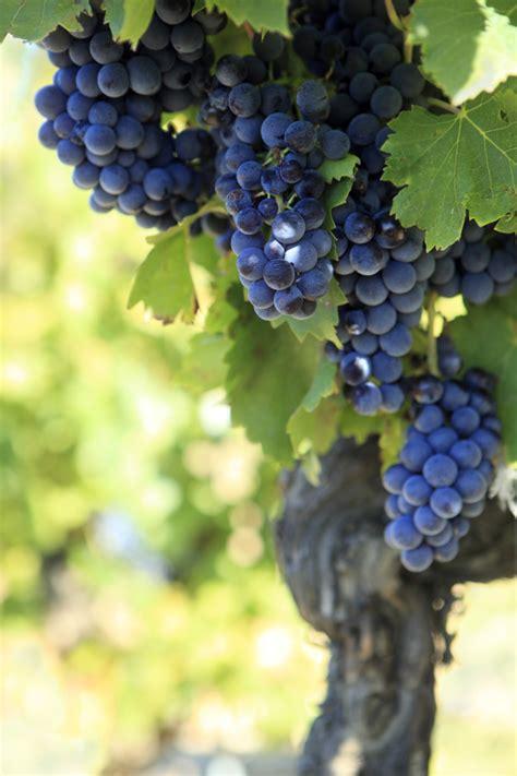 imagenes de uvas y viñedos uvas para el vino tinto descargar fotos gratis