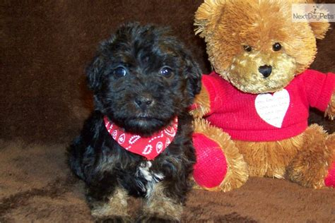 schnoodle puppies for sale near me schnoodle puppy for sale near st louis missouri 7cd28328 5311