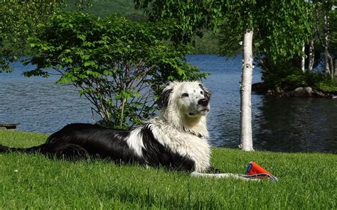leptospirosis vaccine for dogs reaction to the lepto vaccine dogs health problems