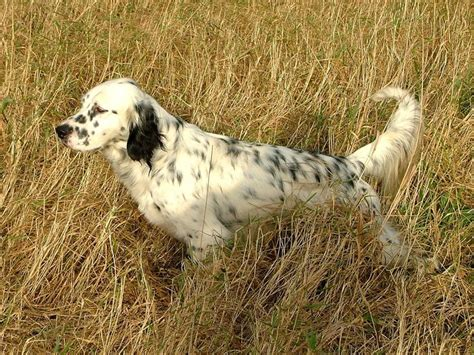 english setter gun dog 1000 images about bird dogs on pinterest