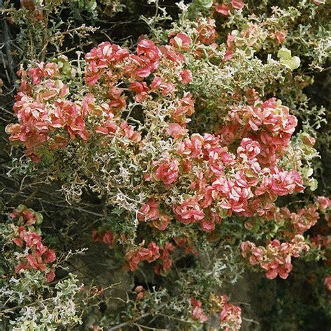 Arbuste A Fleurs by Arbuste 224 Fleurs Rouges Liste Ooreka