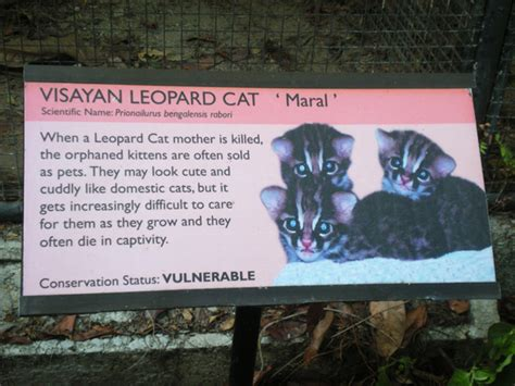 What S Included visayan leopard cat