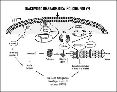 cadenas musculares scielo disfunci 243 n diafragm 225 tica inducida por ventilaci 243 n mec 225 nica