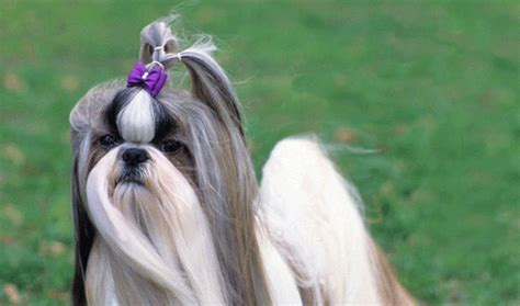 shih tzu temperament lively get informed about the cutest dogs in the world