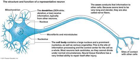 nervous tissue labeled diagram pre nursing entrance teas types of tissues