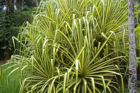 pandanus sanderi guilfoyle and his warm climate plants garden travel hub