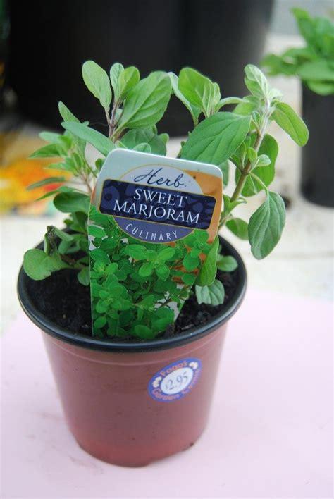growing marjoram indoors caring   indoor marjoram
