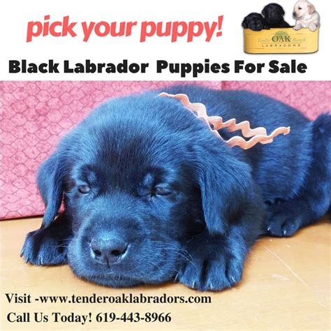 puppies for sale in southern california 1000 ideas about labrador for sale on labrador labrador and