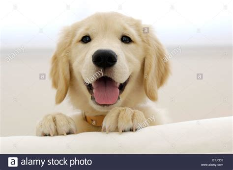 golden retriever tongue up of a golden retriever puppy sticking its tongue out stock photo royalty free
