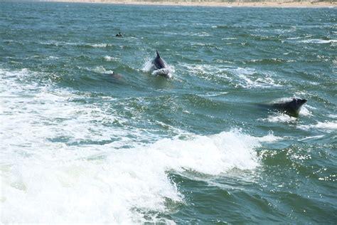 virginia aquarium dolphin watching boat trips dolphin watching in virginia beach 50 states family