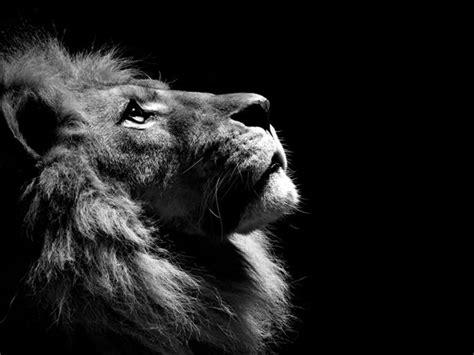 imagenes leon negro foto en blanco y negro de le 243 n viendo hacia arriba imagen