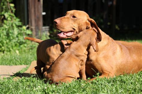 vizsla puppies for sale florida akc vizsla puppies for sale picking your pup golden retrievers