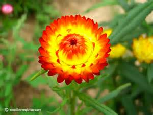 floral pictures strawflower picture 5