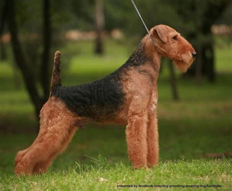 winter airedale haircut winter airedale haircut ray s retirement airedales at
