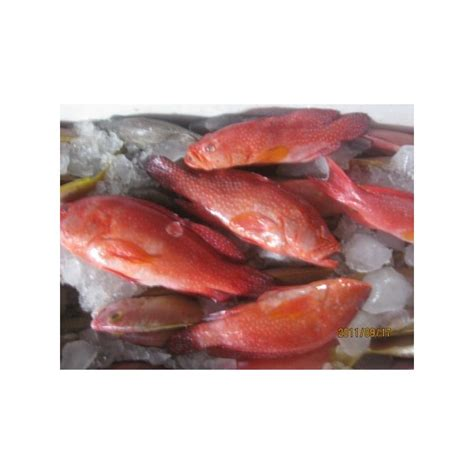 Ikan Segar Ikan Fresh Ikan Beku Ikan Kerapu Moso 1kg Up sell fresh coral sunu fish for restaurant and hotel s consumption ikan sunu ikan kerapu sunu