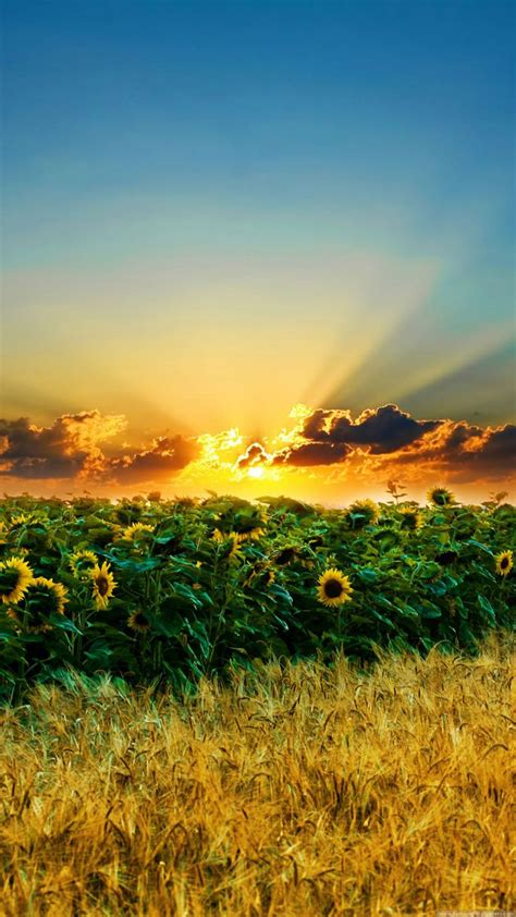 nature iphone   wallpapers sunset  sunflower