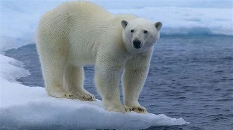 white polar bear desktop wallpaper hd  mobile phones