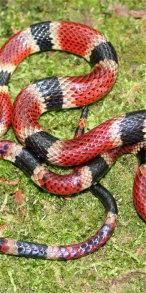 coral snake pattern snakes coral and rodents on pinterest