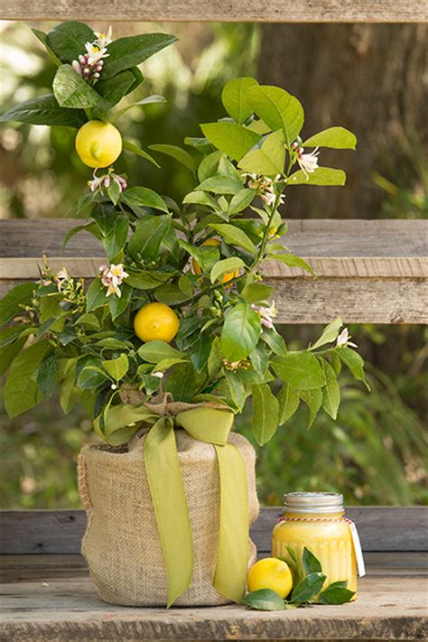 Lemon Tree Gift Card - moms meyer lemon tree bundle gift seeds of life