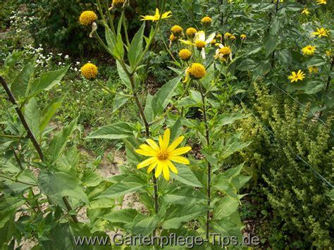 Topinambur Garten Pflanzen by Topinambur Die Wohlschmeckende Knolle F 252 R Genie 223 Er