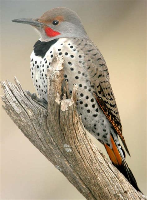 utah bird profile northern flicker