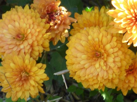 mums flower fact about chrysanthemum flowers are mums annual or