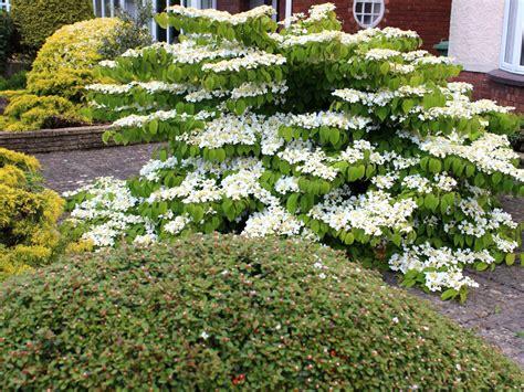Garden Shrubs Viburnum Shrub Diy