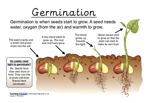 do seeds need light to germinate the science vocabulary pack