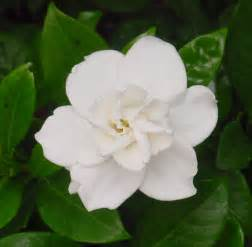 White Flower Images by Beautiful White Flower Stock By Enchantedgal Stock On