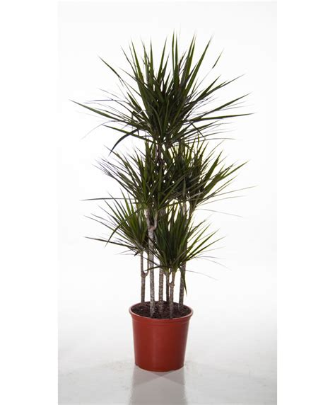 buy large house plants online buy house plants 28 images buy house plants now dracaena 3 trunks dorado bakker