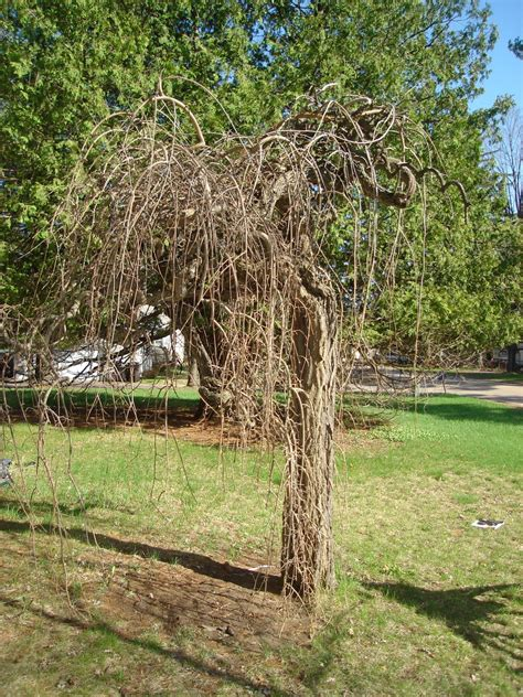 weeping mulberry tree by coffeecoloredeyes on deviantart