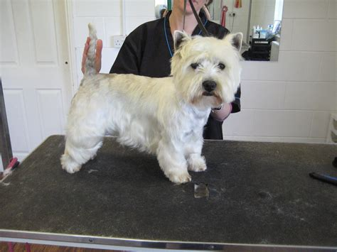 Westie Shedding by Gallery 171 Top Tails