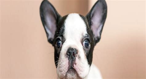when can puppies hear why can dogs hear better than humans